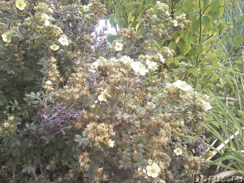 Лапчатка кустарниковая (курильский чай) - Прочее по животным и растениям - Растение используют как д..., фото 1
