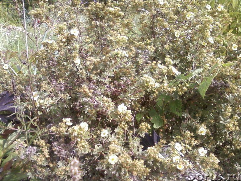 Лапчатка кустарниковая (курильский чай) - Прочее по животным и растениям - Растение используют как д..., фото 2