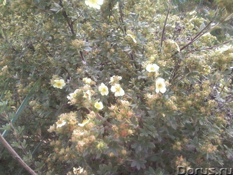 Лапчатка кустарниковая (курильский чай) - Прочее по животным и растениям - Растение используют как д..., фото 3