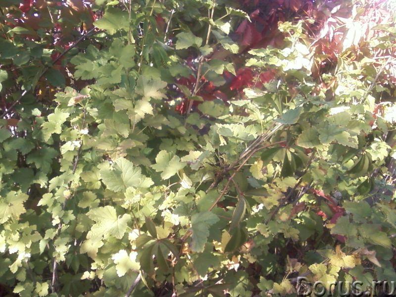 """Смородина красная """"Алые паруса"""" (черенки и кусты) - Прочее по животным и растениям - Морозо и засухо..., фото 1"""
