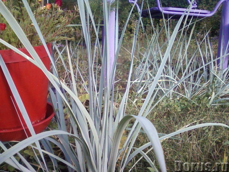 Осока голубая, не теряющая цвет. Декоративная - Прочее по животным и растениям - В садоводстве голуб..., фото 1
