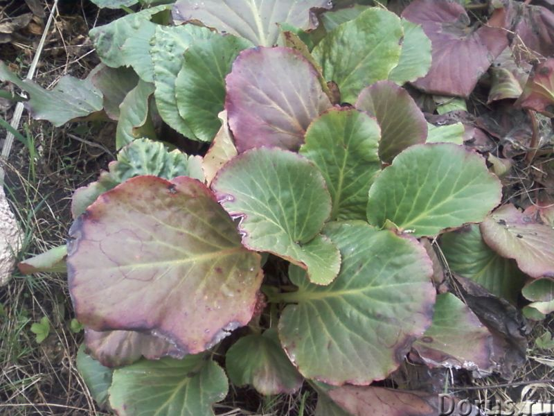 Бадан толстолистный декоративно-лечебный - Прочее по животным и растениям - Бадан толстолистный (лат..., фото 2