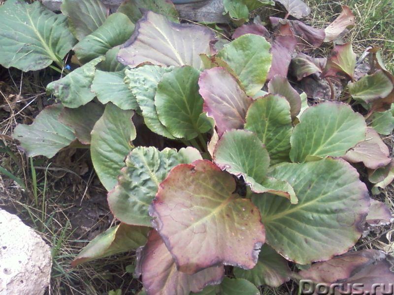 Бадан толстолистный декоративно-лечебный - Прочее по животным и растениям - Бадан толстолистный (лат..., фото 4