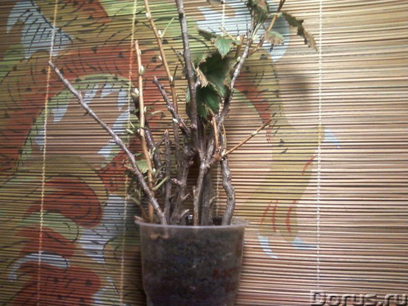"""Смородина чёрная """"Егорка"""" (укоренённые черенки) - Прочее по животным и растениям - Ягоды, черные, вк..., фото 1"""