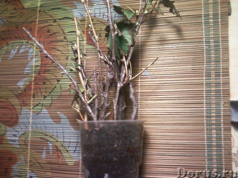 """Смородина чёрная """"Егорка"""" (укоренённые черенки) - Прочее по животным и растениям - Ягоды, черные, вк..., фото 2"""