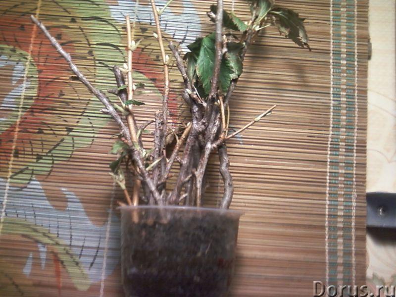 """Смородина чёрная """"Егорка"""" (укоренённые черенки) - Прочее по животным и растениям - Ягоды, черные, вк..., фото 3"""