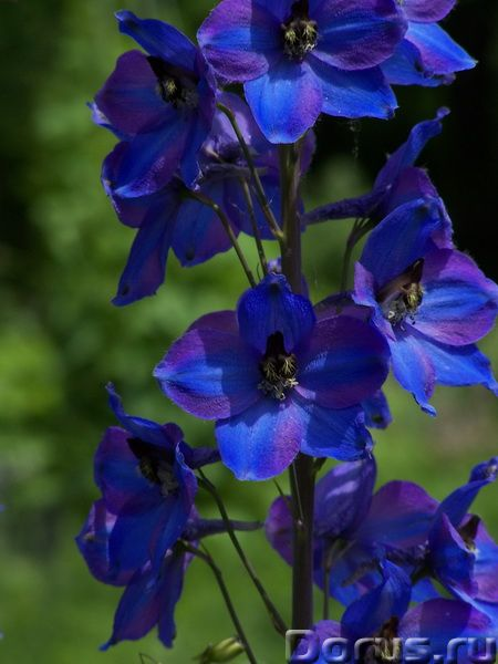 Дельфиниум (шпорник) фиолетово-сиреневый, высокий - Прочее по животным и растениям - Дельфиниумы выс..., фото 1